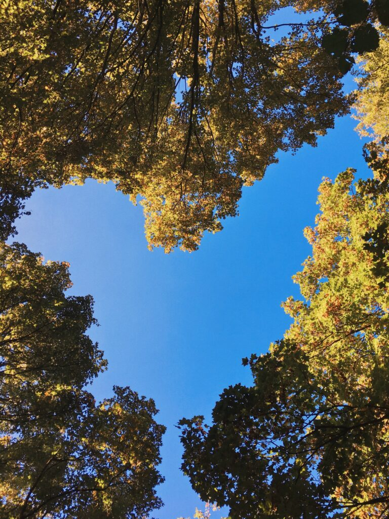 Looking up into a tree canopy with a blue sky behind. The trees meet to create a heart shape.
