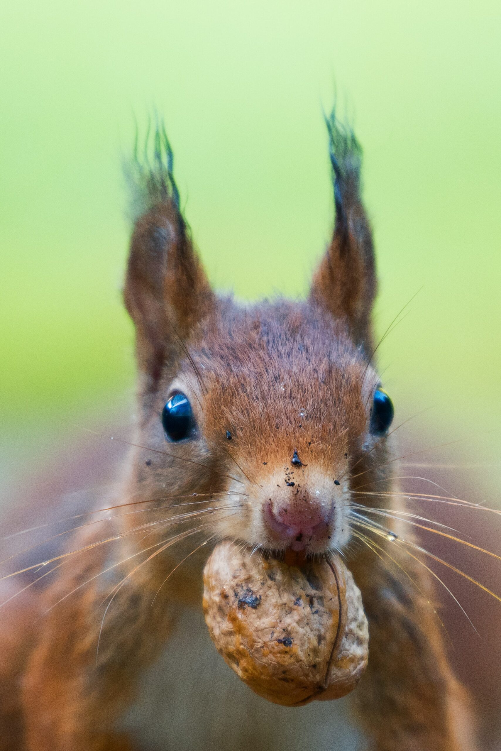 Red squirrel looking alert with a nut in its mouth